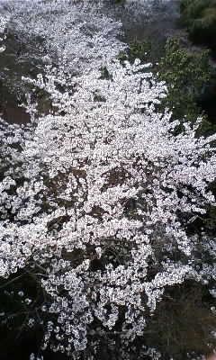 信貴山 桜3