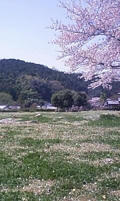 明日香村 桜