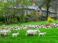 sheepfamilywicklow1