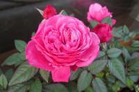 roses1212