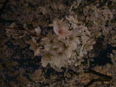 120410夜桜→PUJA002