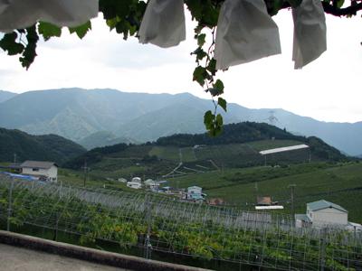 ぶどう園3