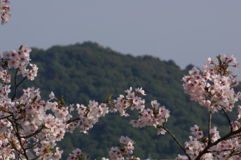 桜と耳成山