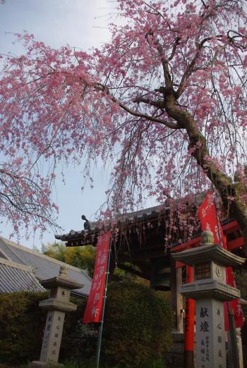 安陪文殊稲荷の枝垂桜