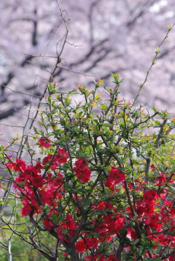 安陪文殊ボケの花