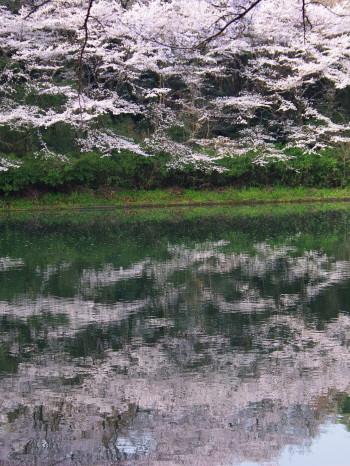 安陪文殊池に映る桜