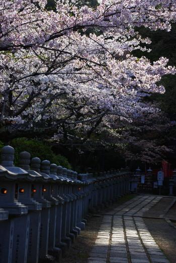 安陪文殊白山堂参道の桜