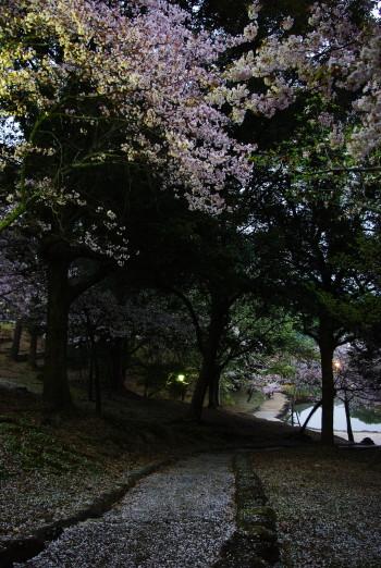 浮見堂散り桜3