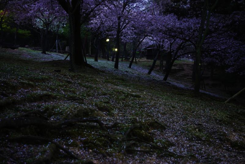 浮見堂散り桜1
