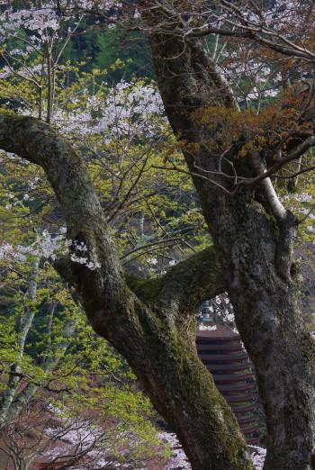 薄墨桜と塔