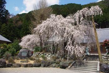 宝蔵寺の枝垂れ