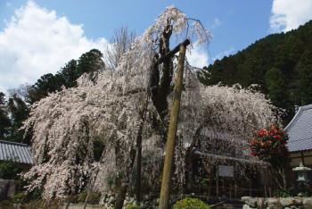 宝蔵寺シダレ2011