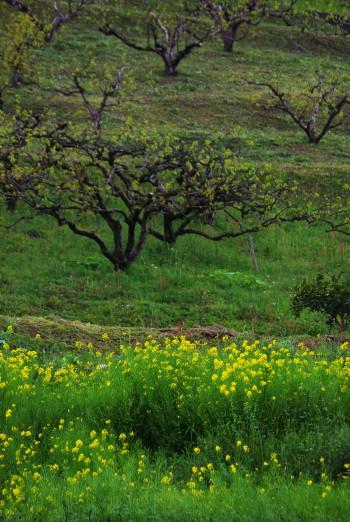 菜の花 カキ畑