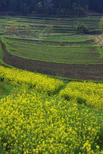 菜の花と棚田1 稲淵