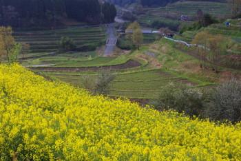 菜の花と棚田 稲淵