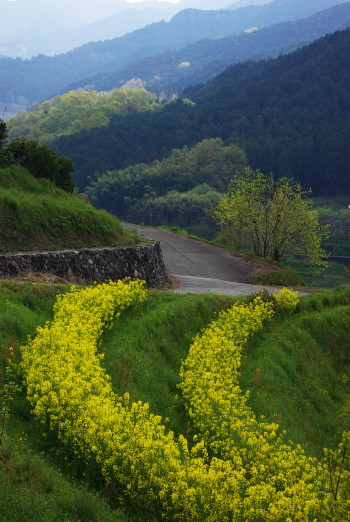菜の花と山並み 稲淵