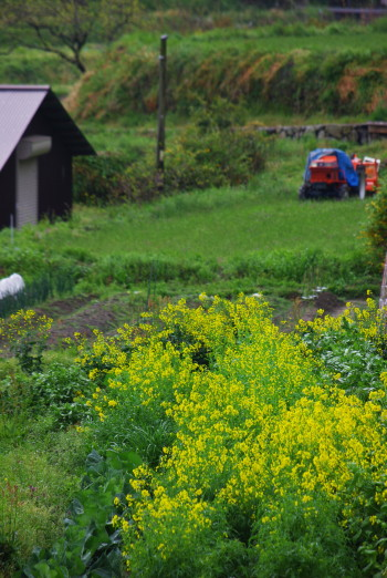 菜の花とトラクター 稲淵