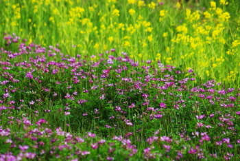 菜の花とレンゲ 稲淵