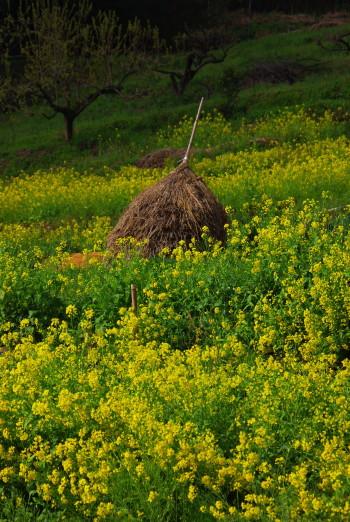 菜の花と藁 稲淵