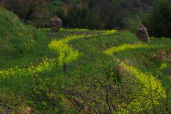 菜の花ライン 稲淵