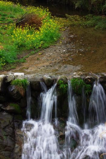 菜の花と飛鳥川 稲淵