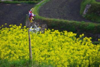 狛 菜の花とモグラよけ