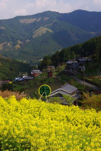 狛 山並みと菜の花