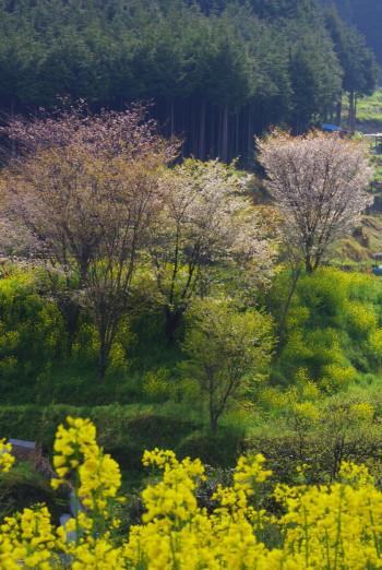 狛 桜と菜の花
