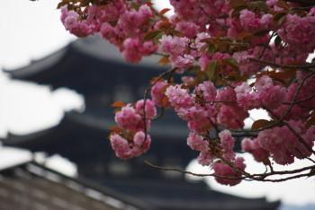 五重塔と八重桜