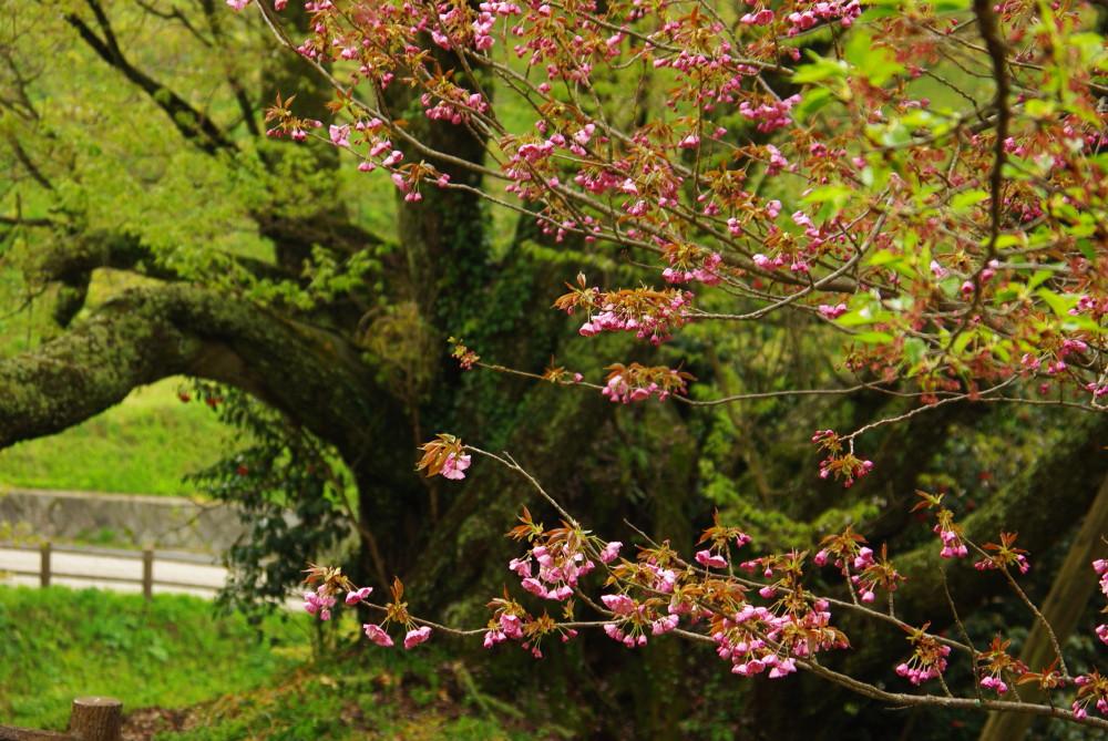 千年桜と八重桜の花