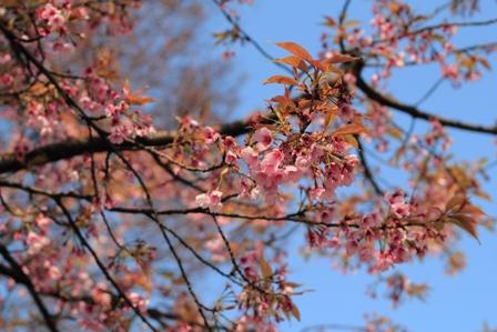 安行桜web
