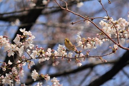 桜とメジロweb