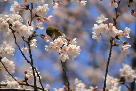 桜とメジロ2web