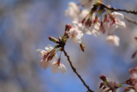 桜と蜂web