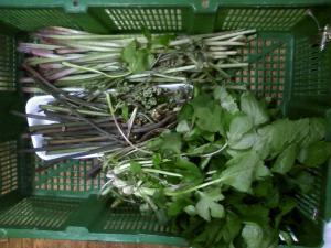 山菜初収穫