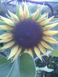 8-19ミニ向日葵