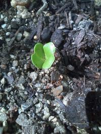 9-15大根発芽
