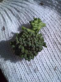 1-24茎ブロッコリー