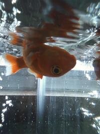 1-28金魚