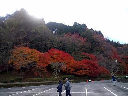小原四季桜2012.11