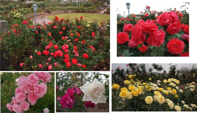 rose1206.jpg