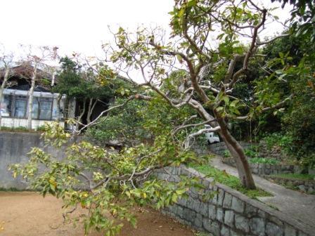アボカド木