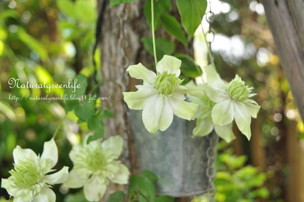 Clematis florida 'Plena' 白万重(シロマンエ)