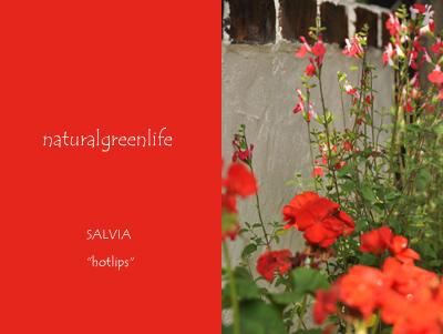 SALVIA hotlips