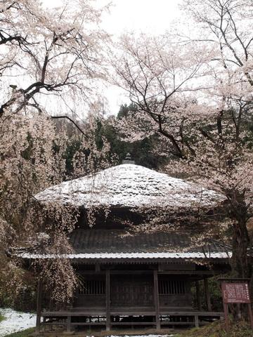 100417kaizenjizakura.jpg