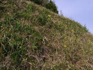 オカオグルマの咲く土手 クリックで拡大