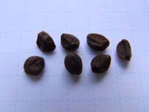 小さいアサガオの種 クリックで拡大