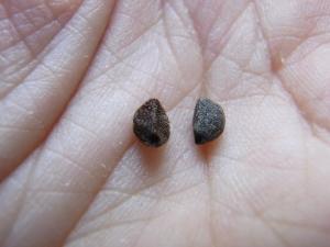 左:小さいアサガオ・右:インコの餌