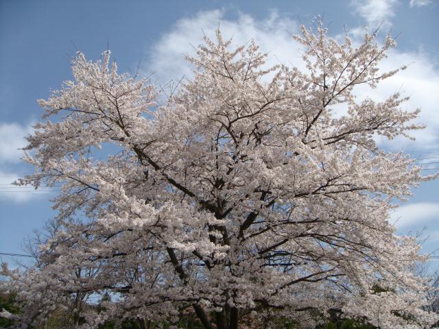 見事な一本立ちの桜もある