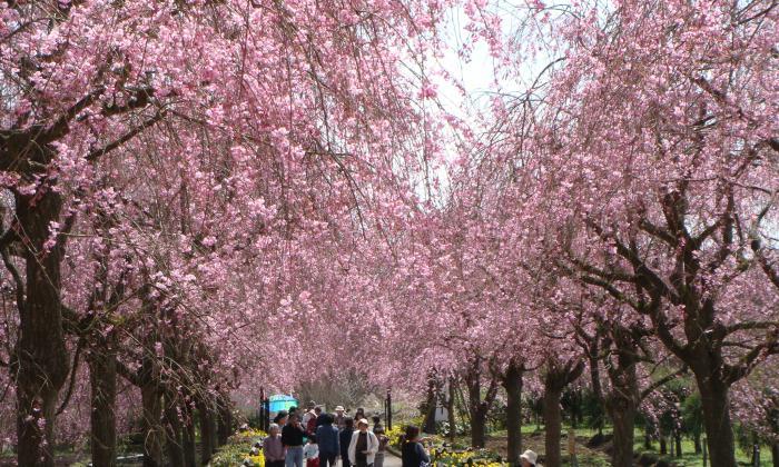 ヤエベニシダレ桜のトンネルを歩く
